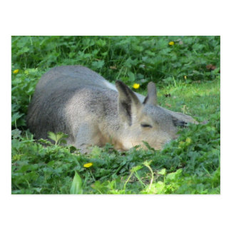 Carte Postale Capybara - grand rongeur