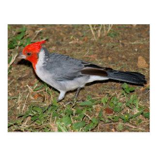 Carte Postale Cardinal crêté rouge