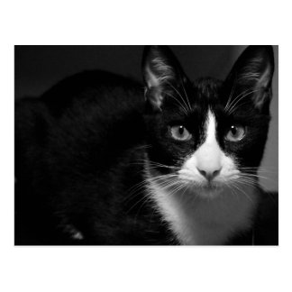 Carte Postale Cat bicolore Called Panzon Photography byw
