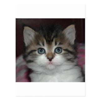 Carte Postale Chat tigré sibérien/chaton blanc