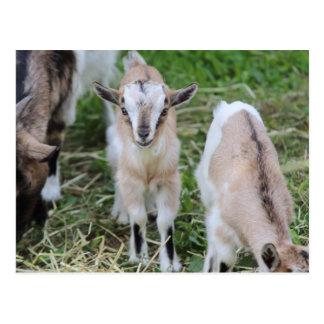 Carte Postale chèvre dans la ferme