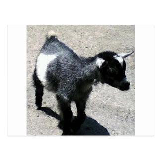 Carte Postale Chèvre de bébé
