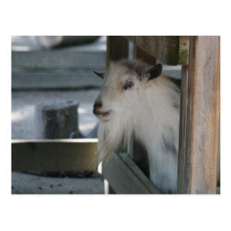 Carte Postale Chèvre de cm