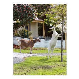 Carte Postale Chèvre mangeant de l'arbre
