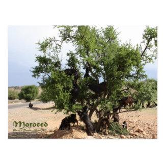 Carte Postale Chèvres dans les arbres - arbres d'argan, Maroc