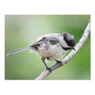 Carte Postale Chickadee