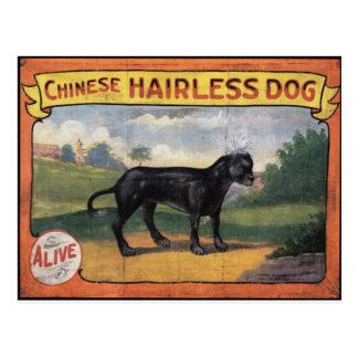 Carte Postale Chien chauve chinois