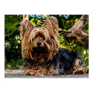 Carte Postale Chien de Yorkshire Terrier