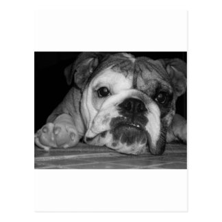Carte Postale Chiot anglais noir et blanc de bouledogue