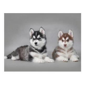Carte Postale Chiots de chien de traîneau sibérien