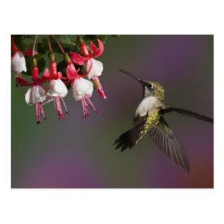 Carte Postale Colibri throated rouge femelle en vol.