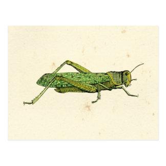 Carte Postale Copie encadrée de sauterelle verte