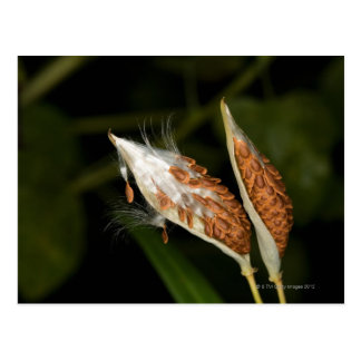 Carte Postale Cosses tropicales de graine de Milkweed (Asclepias
