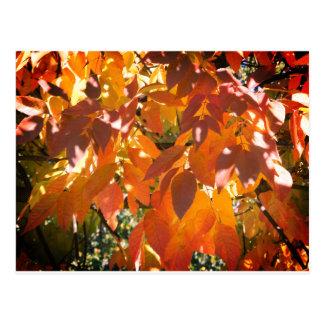 Carte Postale Couleur de chute de frêne blanc (Fraxinus