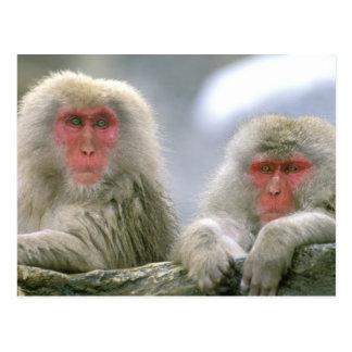 Carte Postale Couples de singe de neige, Macaque japonais,