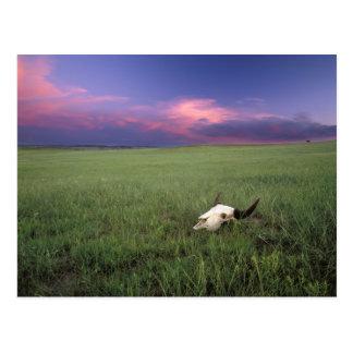 Carte Postale Crâne de Buffalo dans l'herbe de prairie près de