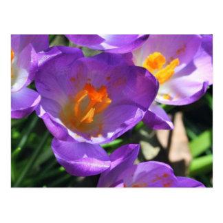 Carte Postale Crocus flowers.jpg