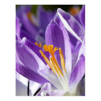Carte Postale Crocus violet de ressort