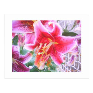 Carte Postale Curieux Lilly d'étoile