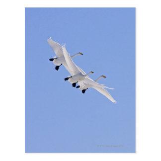 Carte Postale Cygnes de Whooper volant dans le ciel