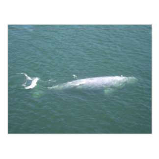 Carte postale de baleine grise