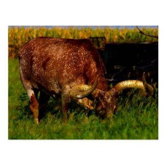 Carte postale de bétail de Longhorn