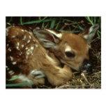 Carte postale de cerfs communs de bébé