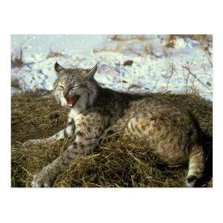 Carte postale de chat sauvage
