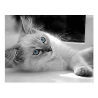 Carte postale de chaton de Ragdoll