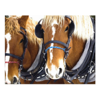 Carte postale de chevaux de trait de Clydesdale