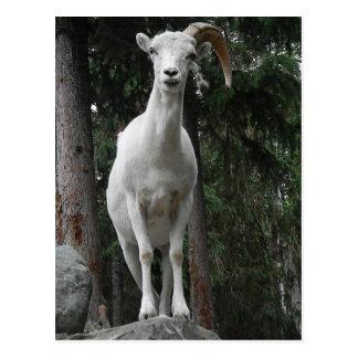 Carte postale de chèvre de montagne