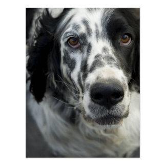 Carte postale de chien de poseur anglais