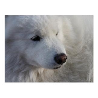 Carte postale de chien de Samoyed