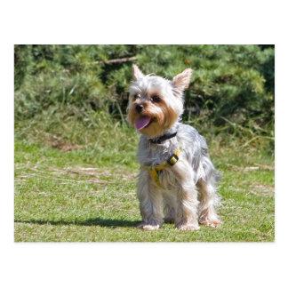 Carte postale de chien de Yorkshire Terrier