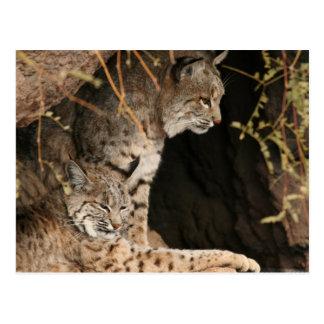 Carte postale de photos de chat sauvage