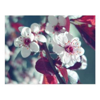 Carte postale de prune de cerise