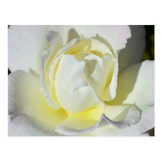 Carte postale de rose blanc et jaune