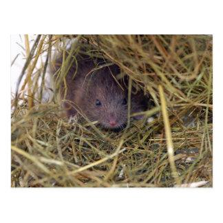 Carte postale de souris de champ