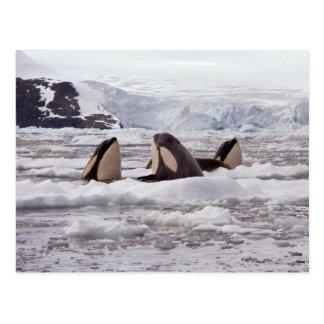 Carte postale de Spyhopping d'orques