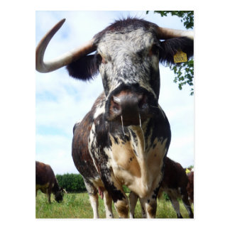Carte postale de vache à bétail de Longhorn de