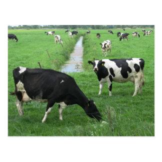 Carte postale de vaches laitières