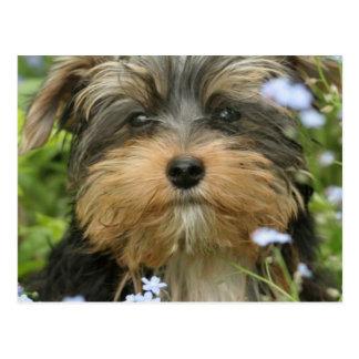 Carte postale de York Terrier