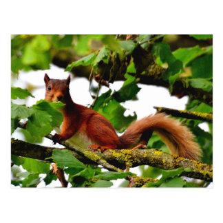 Carte postale d'écureuil rouge