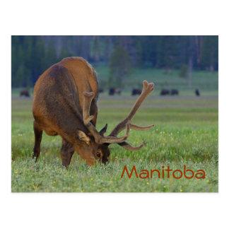 Carte postale d'élans de Manitoba