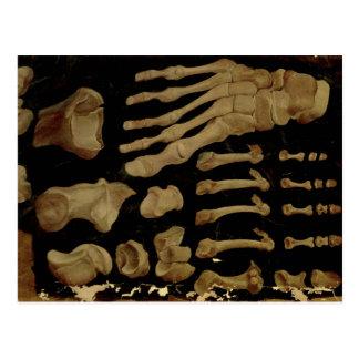 Carte Postale Dessin anatomique des os du pied