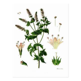 Carte Postale Dessin botanique de menthe verte