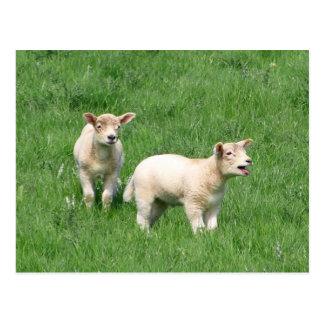 Carte Postale Deux agneaux