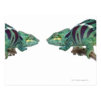 Carte Postale Deux caméléons de panthère fouineurs soient
