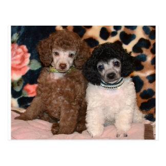 Carte Postale Deux chiots mignons de caniche de jouet de caniche