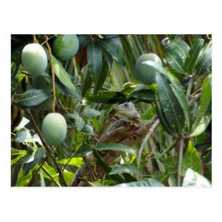 Carte postale d'iguane dans le manguier